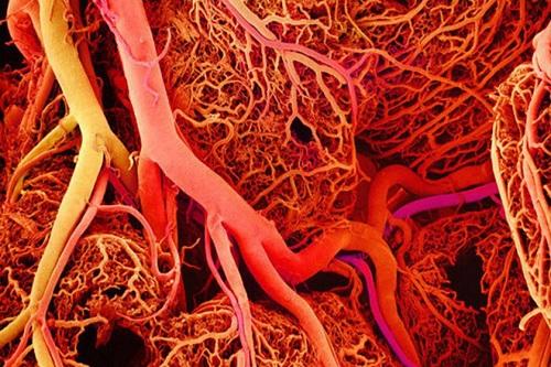 Tĩnh mạch thực hiện những chức năng quan trọng bên trong cơ thể